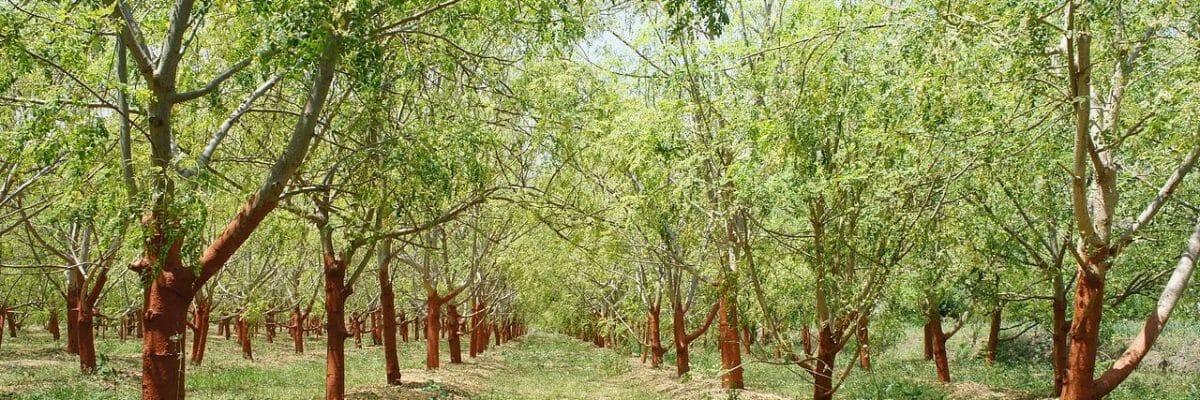 moringa-trees-big